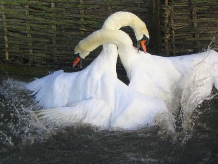 Male mute swans Cygnus olor in a territorial fight